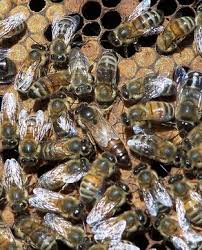 Bee Numbers Increase, But is it Enough?