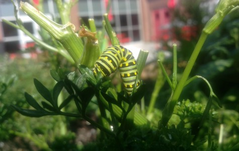 Swallowtail Larva Spotted