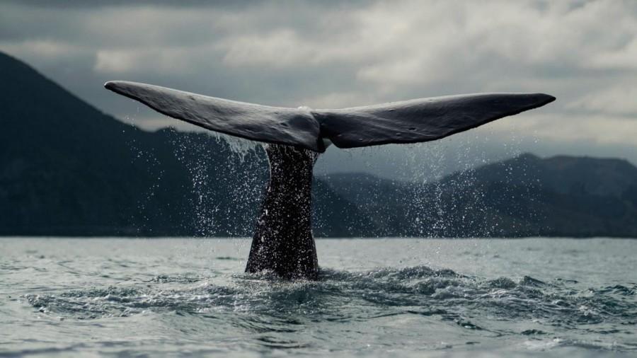 BW86DX Blue whale {Balaenoptera musculus} diving, tail fluke, Kaikoura, South Island, New Zealand
